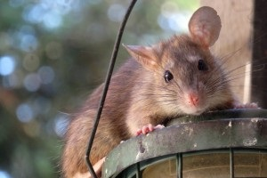 Rat extermination, Pest Control in Southall, UB1, UB2. Call Now 020 8166 9746